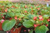四季海棠扦插方法图解,春秋扦插对枝