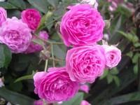 蔷薇花花期有多长?蔷薇花有什么功