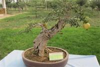 石榴季节养护要点,石榴一年四季的养殖方法