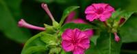紫茉莉几点开花时间