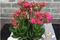 家里养长寿花有什么好处,可改善室内