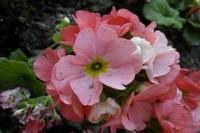 四季樱草的功效和作用,清热解毒美化