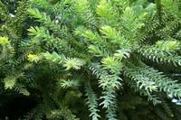 南洋杉的品种,详解南洋杉4大品种