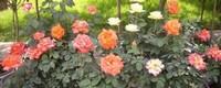 月季什么时候开花