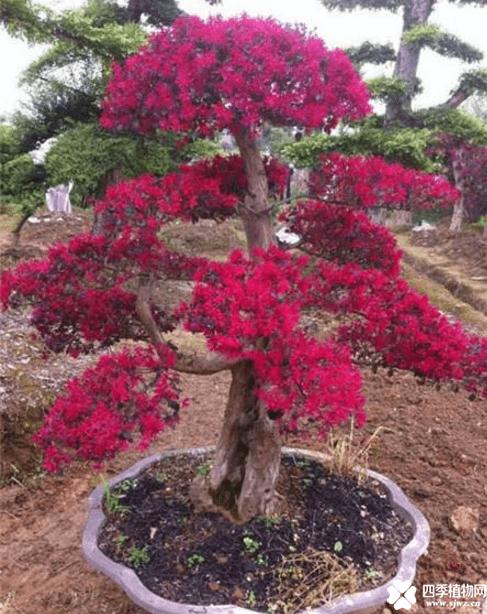 红花檵木盆景造型方法介绍!红花檵木