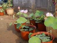 盆栽荷花的养殖方法:常用浅盆