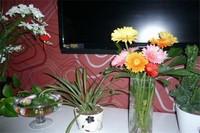 非洲菊怎么水养,非洲菊种植多少天开花
