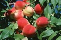 新品种桃树苗,盘点5种最新桃树苗