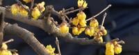 腊梅花期有多长时间