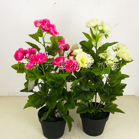 四季芙蓉花盆栽图片