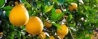 胡柚和柚子的区别