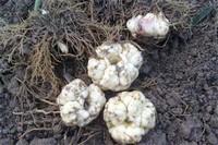 百合花种球怎么繁殖,分球和扦插发芽
