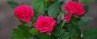 玫瑰枝100%生根方法