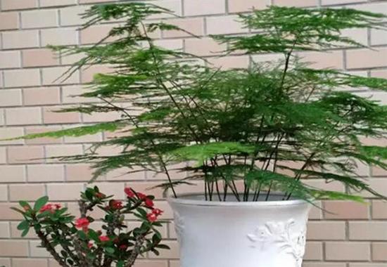 文竹的作用有哪些?一株小小的植株