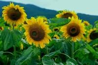 蜀葵的品种有哪些,有混合与观赏型蜀