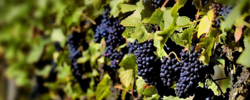 噻苯隆在葡萄使用方法
