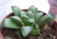 水晶掌生虫吗,水晶掌的病虫害防治/2虫2病用药喷