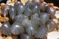 冰灯玉露怎么繁殖,冰灯玉露的繁殖方法(播种/分株/叶插)