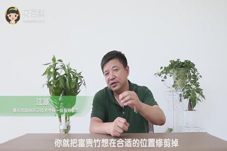 水培富贵竹怎么繁殖