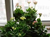 盘点五种长寿花扦插方法,手把手教你长寿花如何扦插