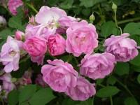 蔷薇花该怎么养?蔷薇花养殖需要注