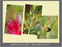 凤仙花图片种子图片