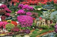 香水月季花树图片