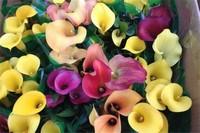 彩色马蹄莲为什么不能复花,变种复花