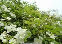木香木香花图片