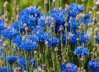 矢车菊的花语是什么,盘点不同颜色矢