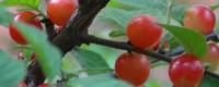 樱桃树种植方法