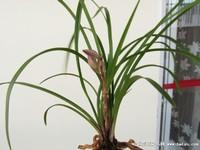 兰铃花盆栽图片