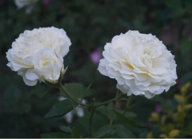 月季花品种图片大图!月季花品种图片