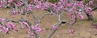 家里能栽桃树吗