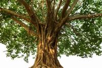 菩提树的寓意是什么,知识/断绝烦恼