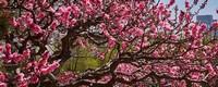 桃树芽接时间和方法