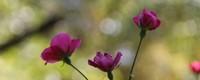 玫瑰的养殖方法和注意事项