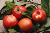 苹果成熟的季节,苹果在秋季8~10月成