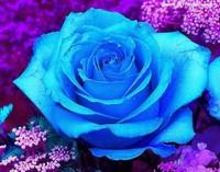 蓝色玫瑰花图片一朵