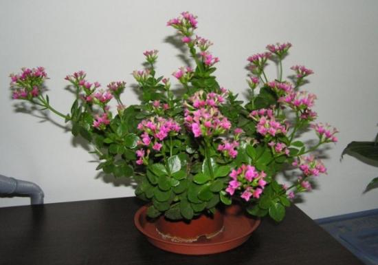 长寿花的资料:对长寿花的详细介绍