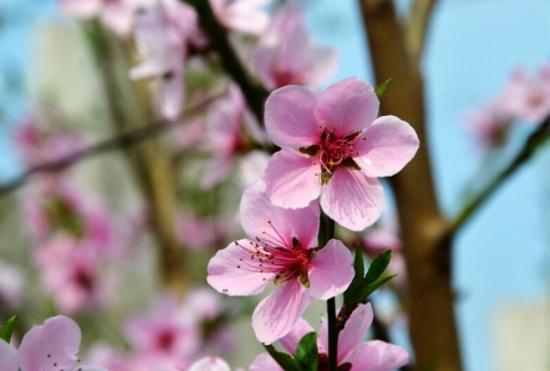 桃树的资料:关于桃树的详细资料