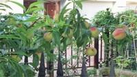 桃树种子快速发芽