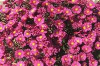 荷兰菊和紫菀有什么区别,详解4大外