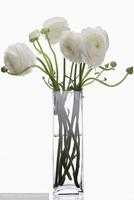 白色花毛茛图片