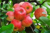 黄苹果和红苹果哪个好,老少择用最为
