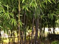 竹子的种类:常见竹子的种类及图片鉴赏