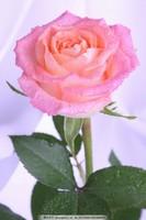 最美露水玫瑰花图片