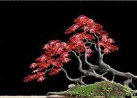 日本红枫盆景怎么养,六个小细节养出