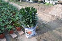 观音竹怎么养,4个步骤可让植株爆盆