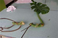 龟背竹扦插图解,处理枝条后扦插入土